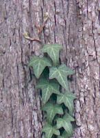 enredadera subiendo por el tronco de un árbol