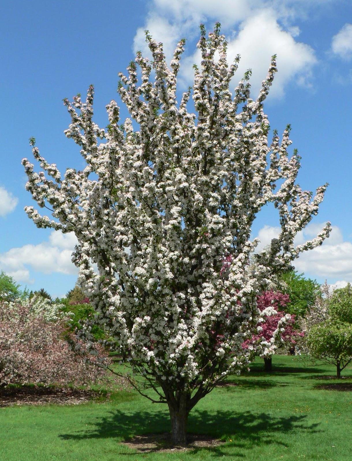 Visit My Garden Flowering Crabapples At The Arboretum