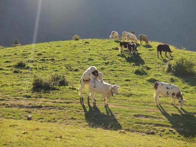 vaches qui se montent dessus