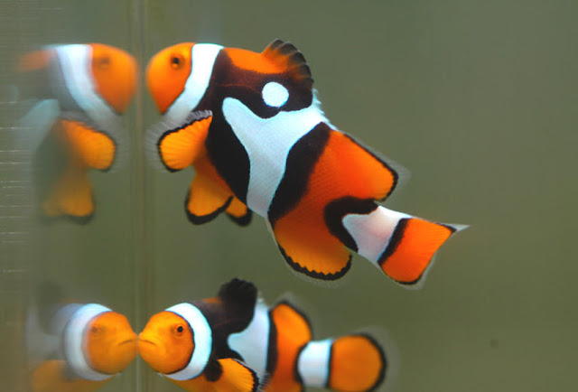 Clownfish the biggest animals kingdom for What do clown fish eat