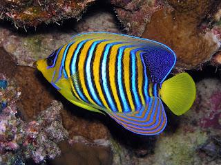 Vida marina peces de agua salada for Peces de acuario agua dulce fria