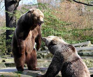 osos peleando