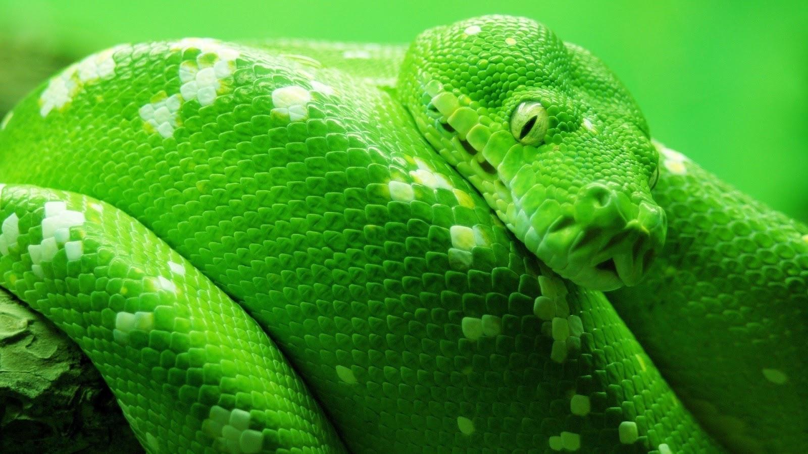 http://1.bp.blogspot.com/-XrtpsFsnZeY/T4goWbYhMzI/AAAAAAAAAh8/nQ6X0KzD0QM/s1600/boa_tree_snake-wallpaper-1920x1200.jpg