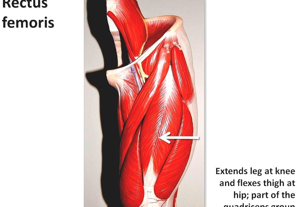 Quadriceps Femoris Muscle Human Leg Muscles Diagram