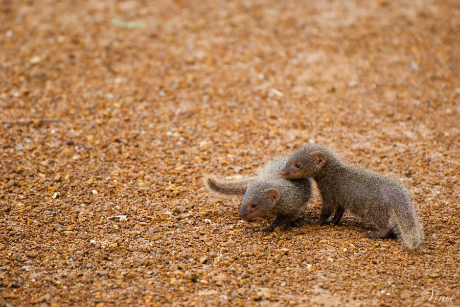 31. Baby Mongoose by Vincent Paul