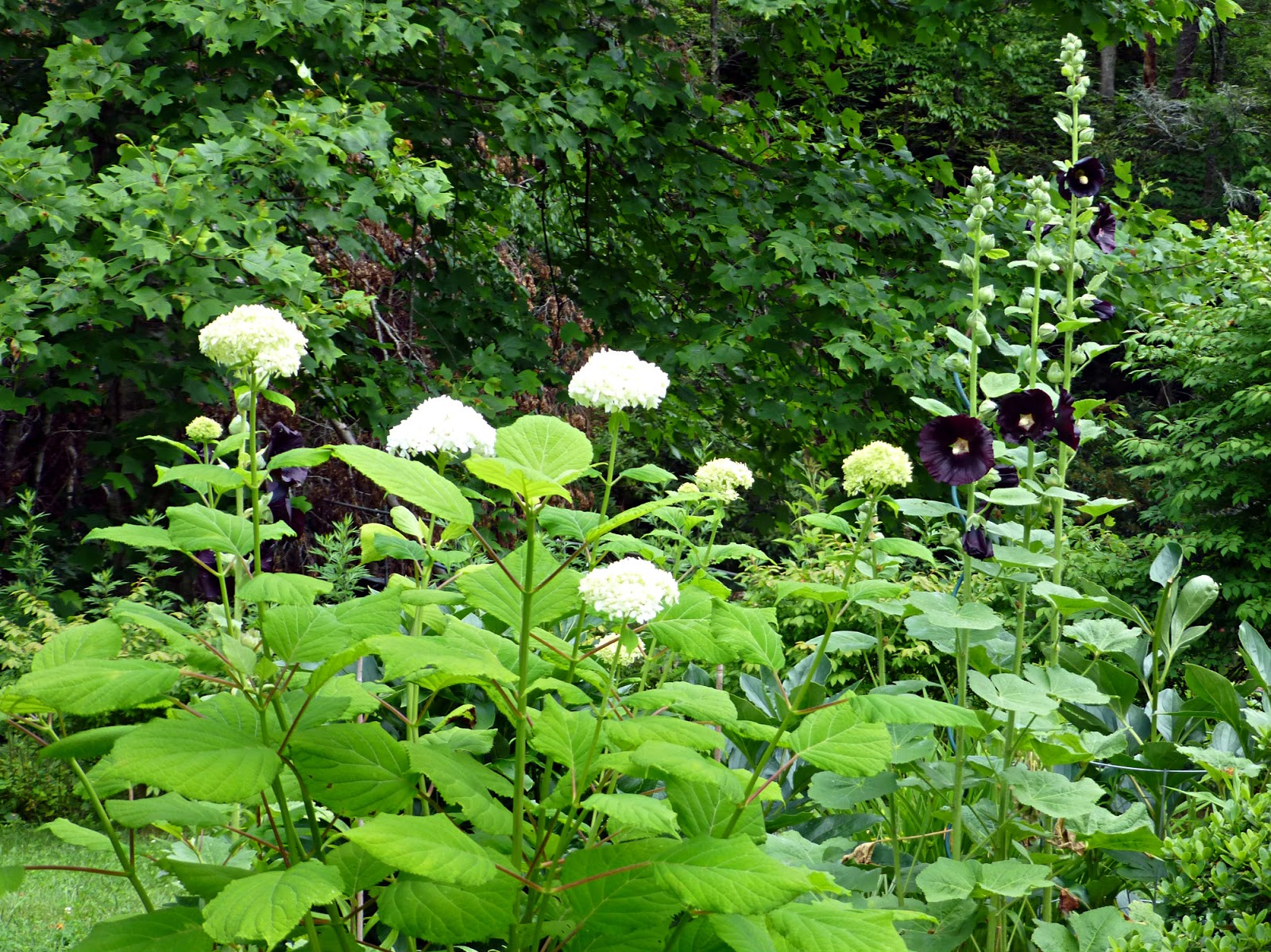 Black and white garden june 2015 update tall leafy shrub with white flower balls next to tall plant stalks with black flowers mightylinksfo