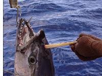 Aneh, Ikan Tuna Ini Mempunyai Tanduk di Kepalanya