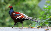 Humiae Pheasant
