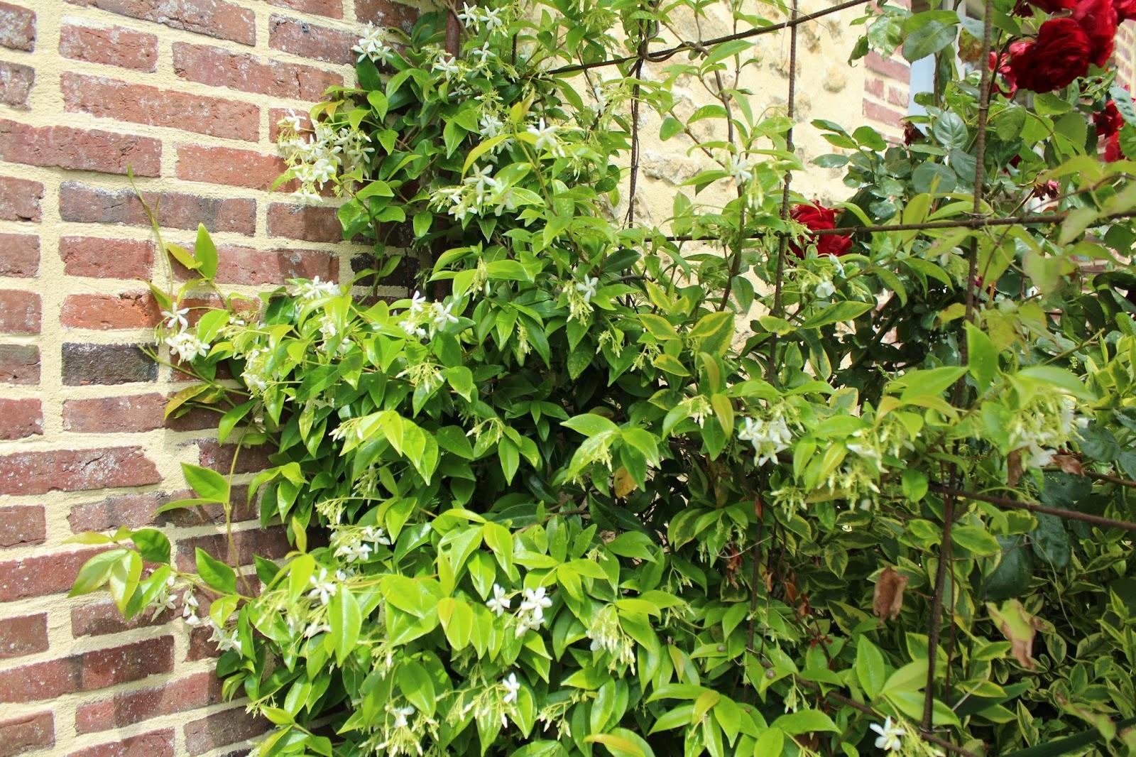 Chambres d 39 h tes au jardin des violettes juin 2015 - Jasmin de virginie etoile ...