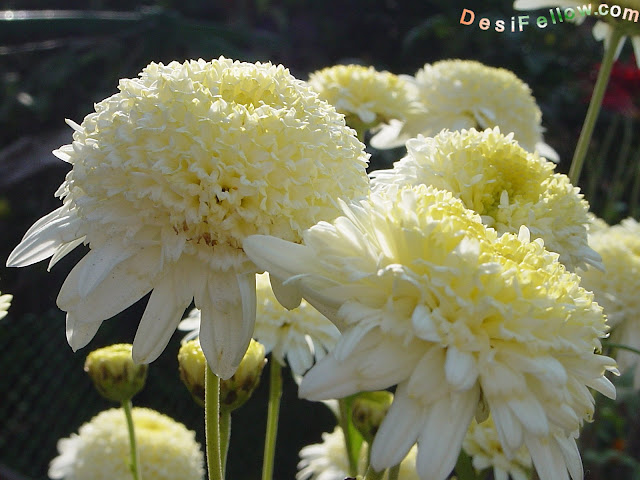 white anemone mum by desi fellow