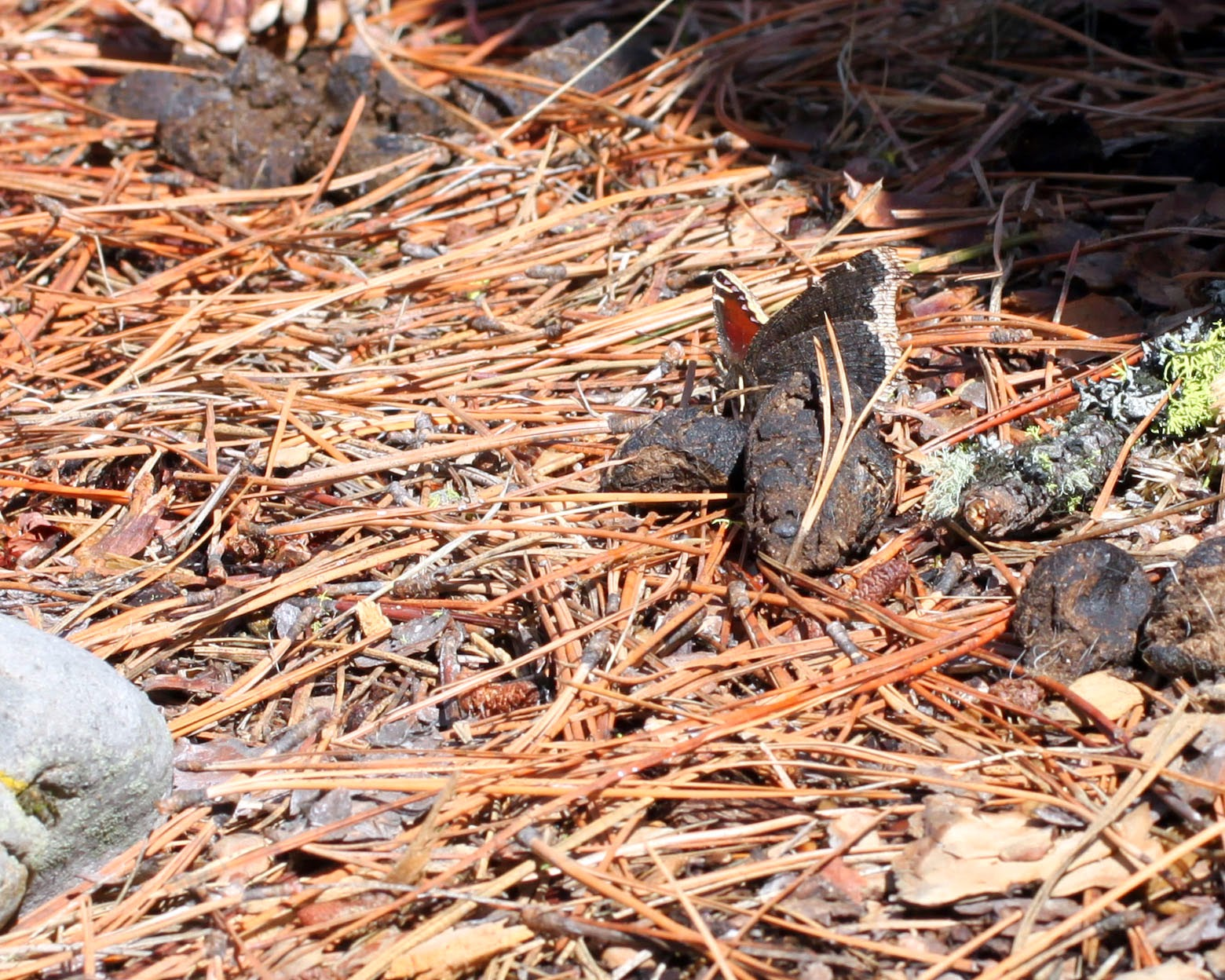 Mourning Cloak Utilizing Scat for Early Season Food/Minerals