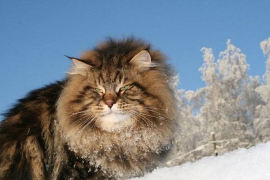Displaying 18 gallery images for siberian forest cat