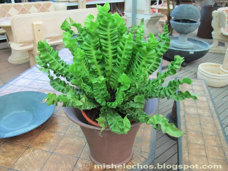 Mis helechos asplenium nidus 39 osaka 39 for Plantas ornamentales helechos