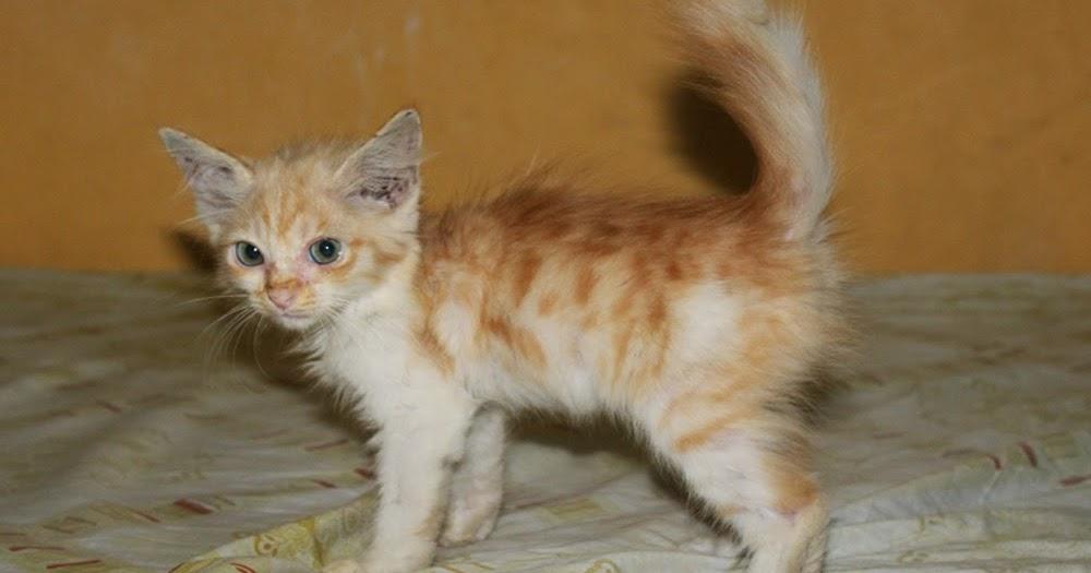Anak Kucing Persia Mix Anggora Segitu Petshop