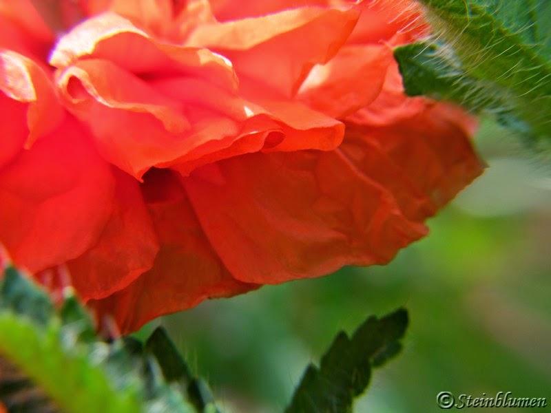 Blütenblätter Gartenmohn