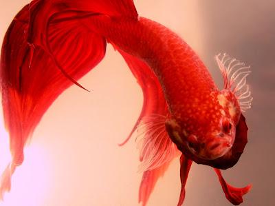 Betta Fish Fighting on Other Betta Fish   Betta Splendens   Fish Diseases   Siamese Fighting