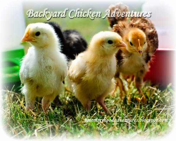 Backyard Chicken Adventures