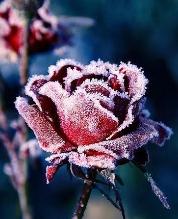 texto, rosa, flores, texto romantico, conto romantico, romance, conto de romance, cronica romantica, texto sobre amor, conto sobre amor, conto de amor