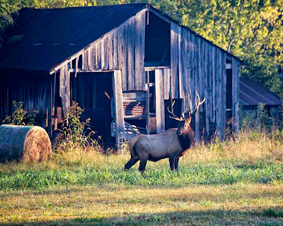 Bull Elk by Historic Barn in Boxley Valley