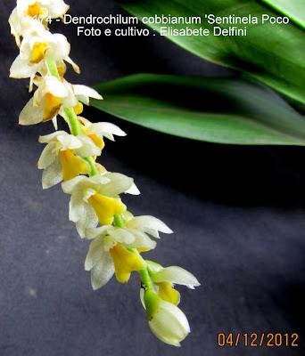Dendrochilum cobbianum 'Sentinela Poco'  do blogdabeteorquideas