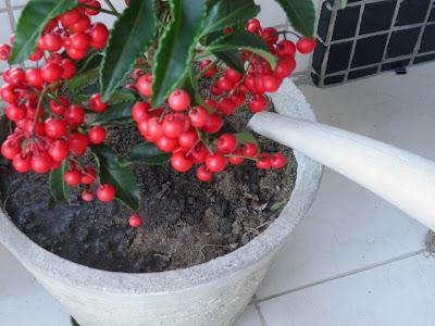ARDISIA CRENATA; CAFÉ DE JARDIM; JARDINAGEM; PLANTAS EM VASOS; PLANTAS COM FRUTOS VERMELHOS