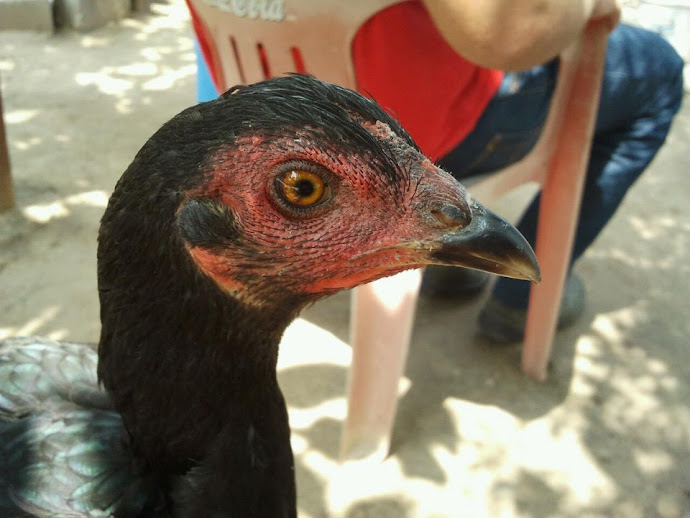 Gallina ojos rayados patas negras