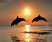 I chose this image because the sunset is my favorite thing and I love . (bottlenose dolphins jumping at sunset honduras)