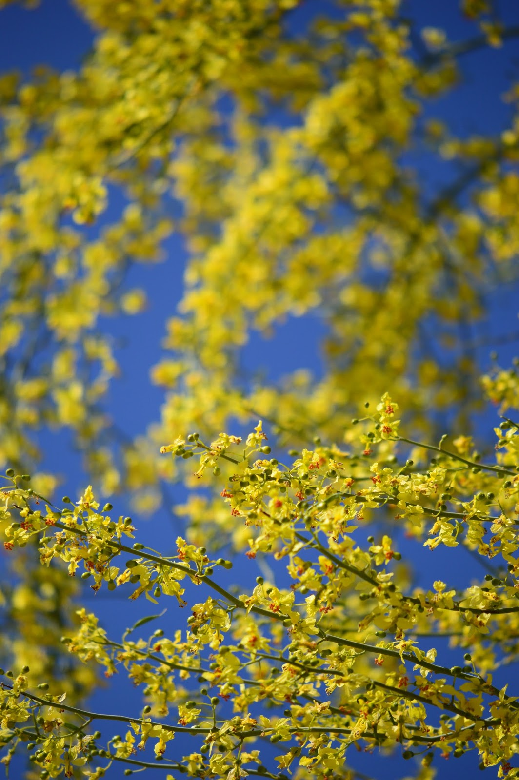 Blue Palo Verde, Palo Verde Flowers, Parkinsonia floridum, wild Palo Verde, Arizona Palo Verde