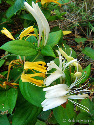 White and yellow honeysuckle