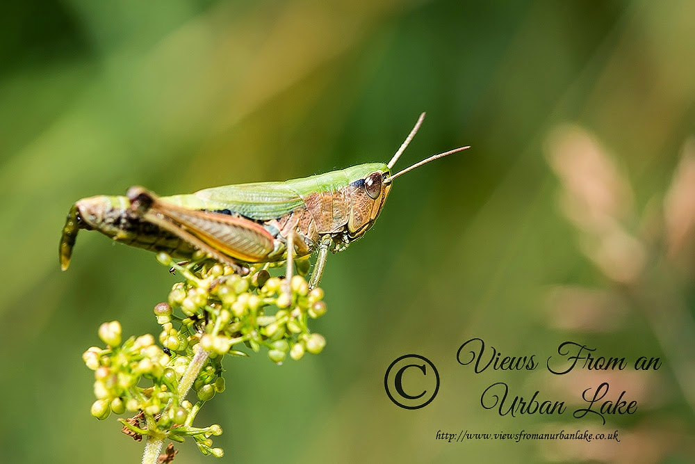 Common Green Grasshopper - Tring Park, Herts