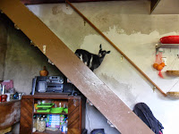 Baby Nigerian Dwarf Goat indoors on the staircase