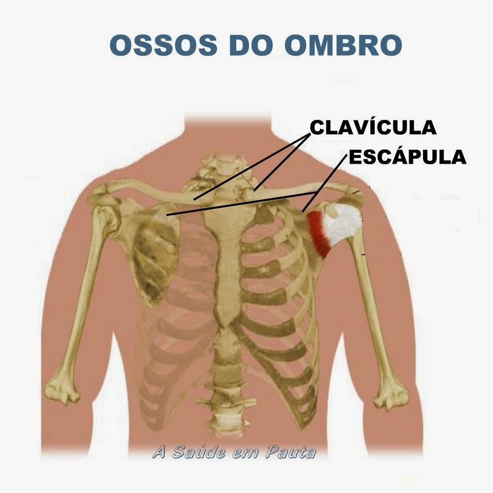 Nomes e localização dos ossos da cintura escapular (ombro)