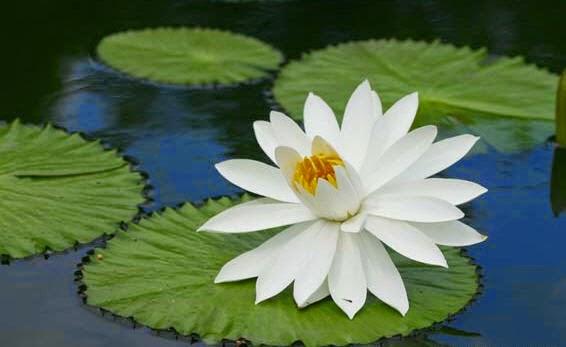 Khasiat Bunga Teratai untuk Kesehatan