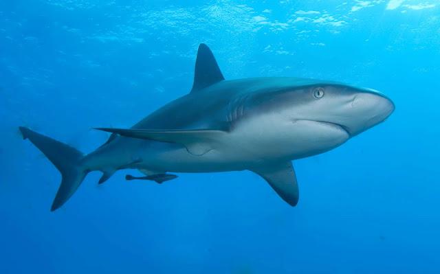 Shark kopek baligi