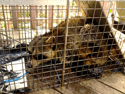 Rocky Raccoon, Ramona, and Beezus the raccoon family exiled from Hickory, NC