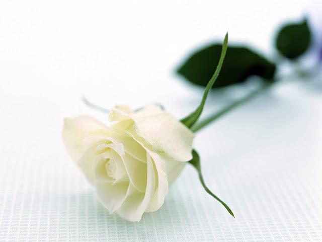 single white rose flower wallpaper