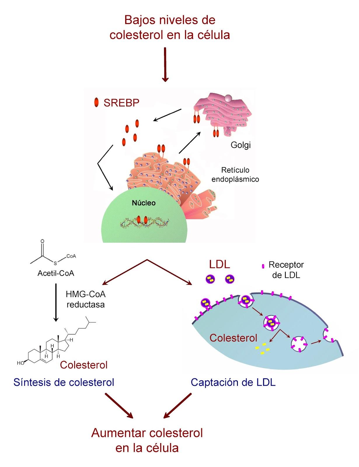 Mecanismos de regulación de los niveles de colesterol en la célula
