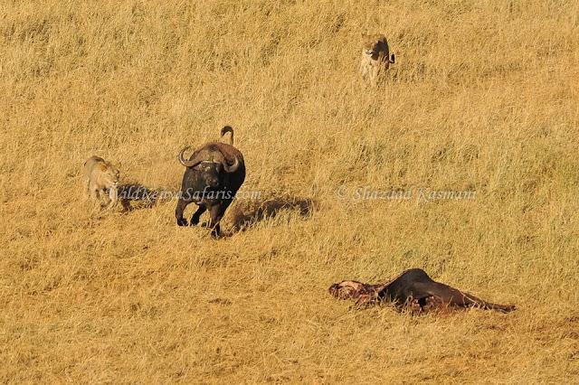 tsavo east, tsavo west, wildlife photography kenya, wildlife diaries