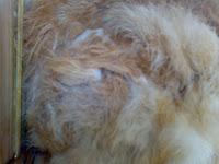 tips merawat kelinci berbulu panjang