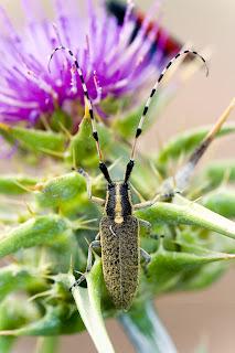 Para ampliar Agapanthia dahli (Longicornio) hacer clic