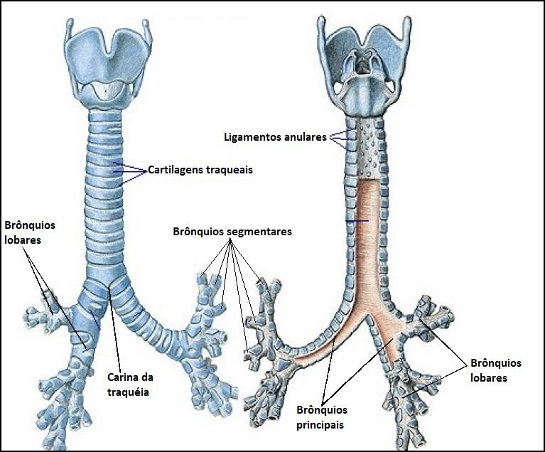 Excelente Sistema Respiratorio Anatomía Humana Ilustración ...