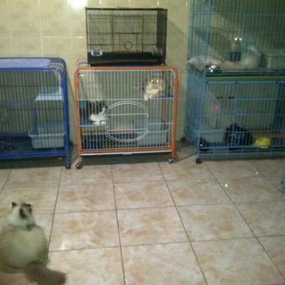 Kucing Persia Surabaya Kucing Persia Di Surabaya