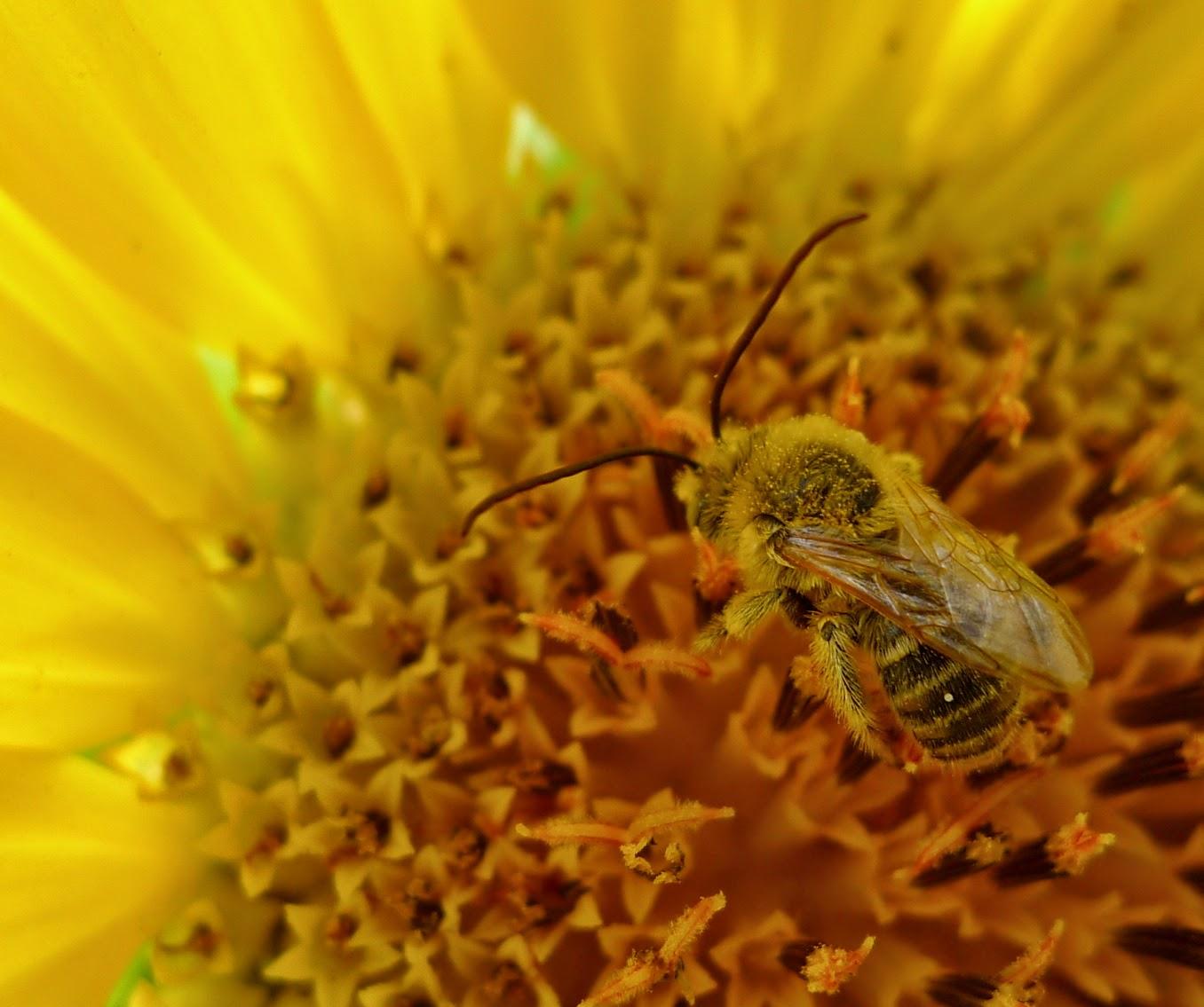 Long-horned Bee on Sunseed Sunflower, gardening, pollinators, urban farming