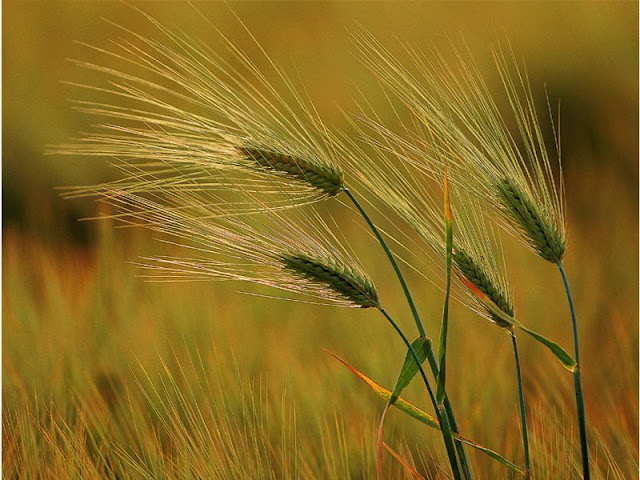Autumn Wheat2