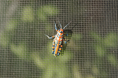 Dactylotum bicolor/Barber Pole Grasshopper