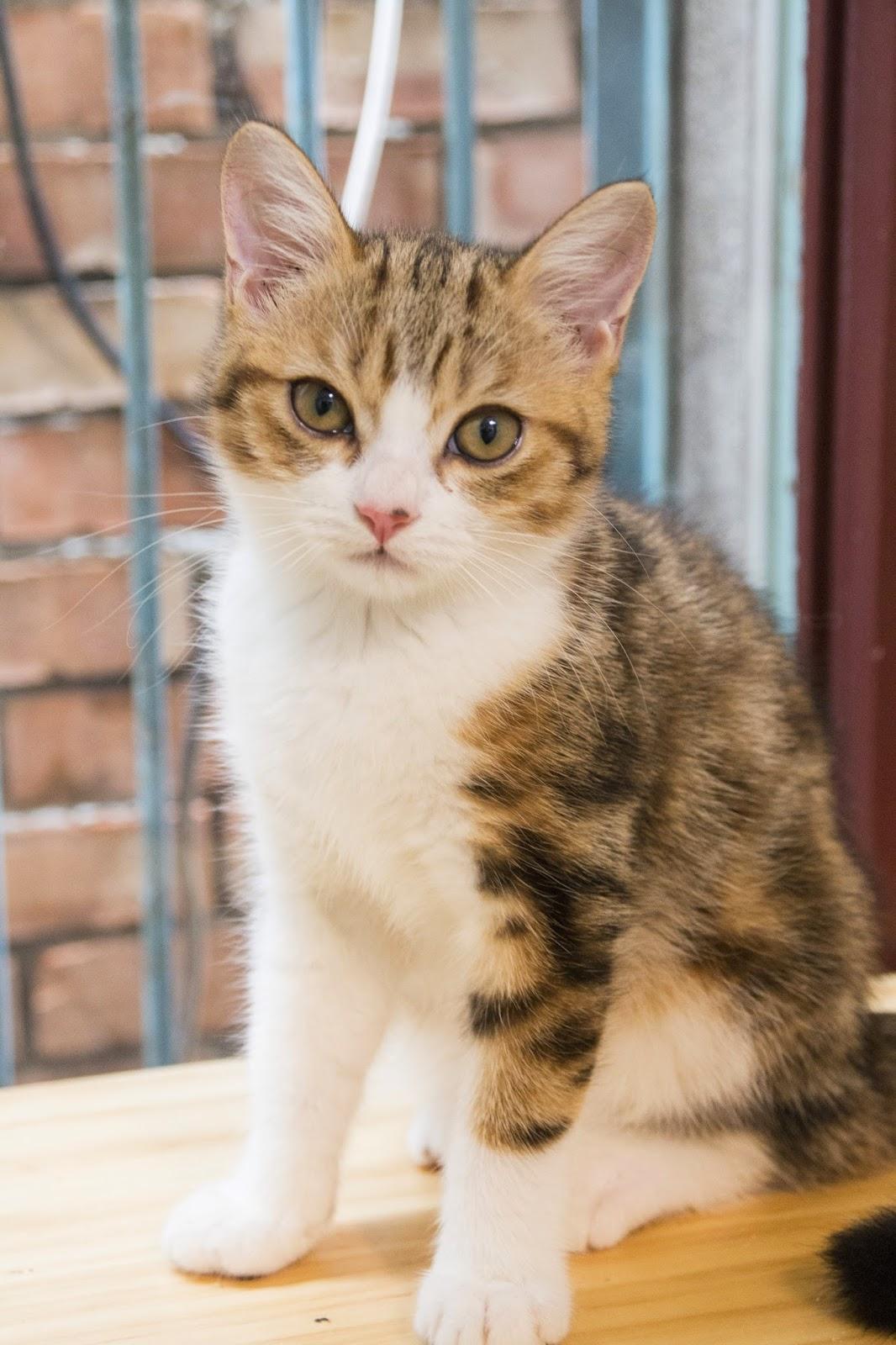 待送養貓咪:小福,不但長得跟媽媽超像,還跟媽媽穿母子裝