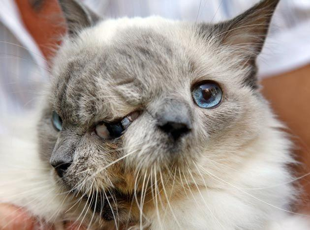 Amazing two faced cat