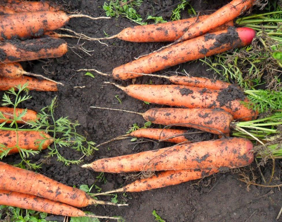 Морковка без перекопки
