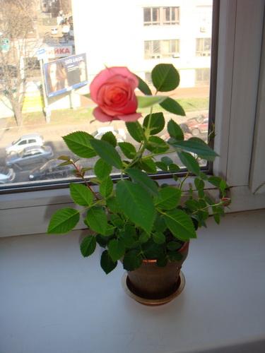 комнатная роза уход в домашних условиях фото сохнут листья