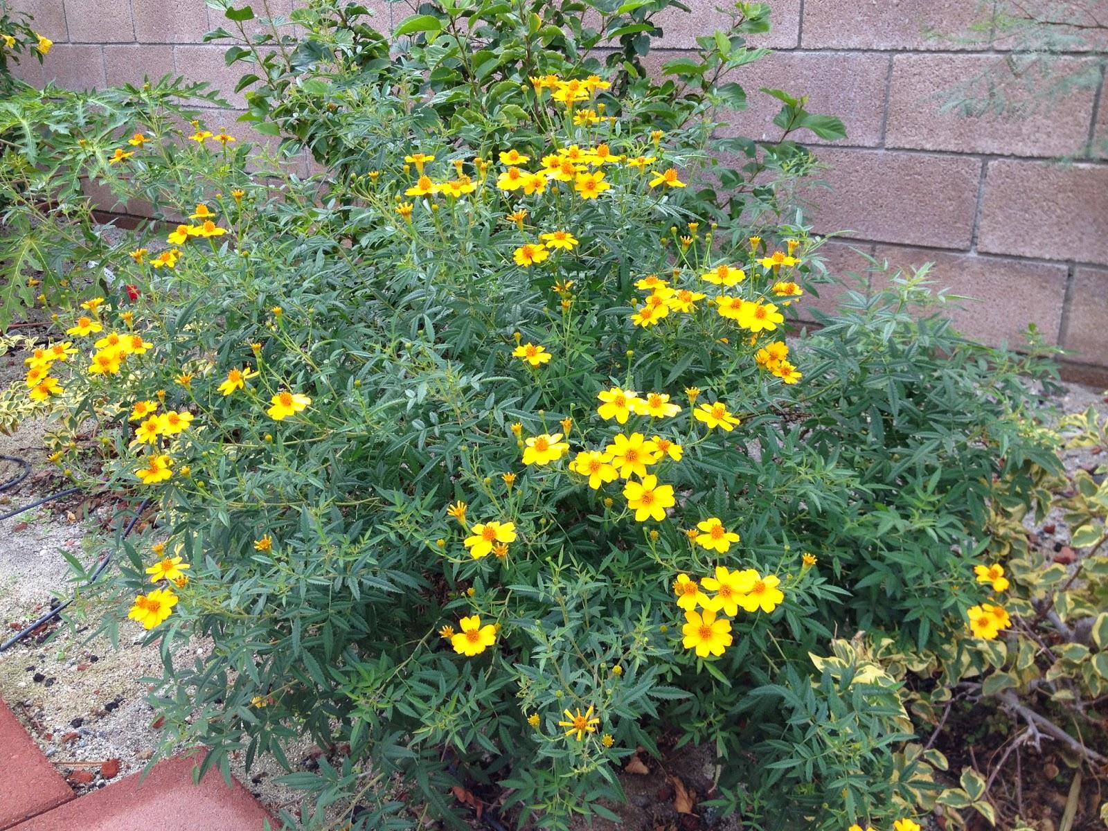 Pampas2palms Pungent But Floriferous